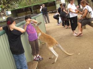 feed kangaroo