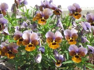 purple top yellow bottom flwer