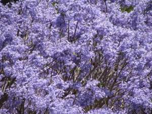 Another tree with purple flowers by the road