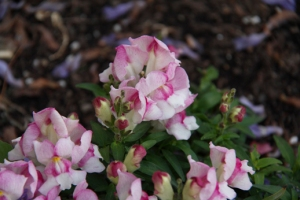 White flowers with pink edges
